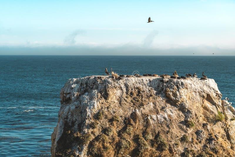 Grande colonie des pélicans sur Cliff Top images libres de droits