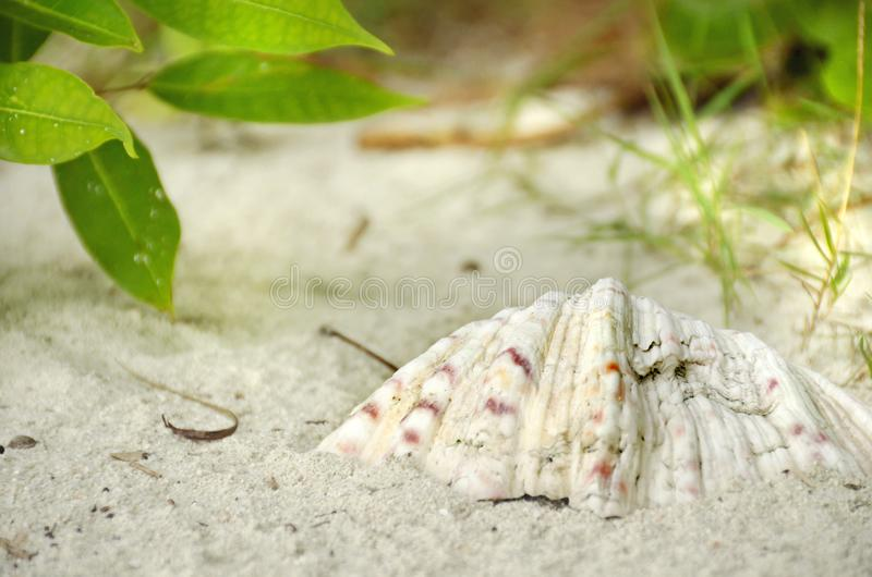 Grande conchiglia sul fondo tropicale bianco della spiaggia di sabbia immagini stock libere da diritti