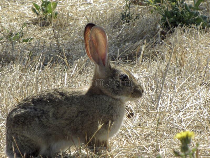 Grande coniglio sulla prateria fotografie stock libere da diritti