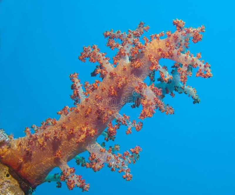 Grande coral macio em um recife de corais tropical fotografia de stock royalty free