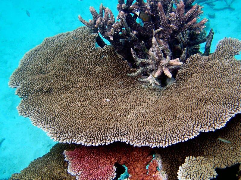Grande corallo della scogliera di barriera fotografia stock libera da diritti