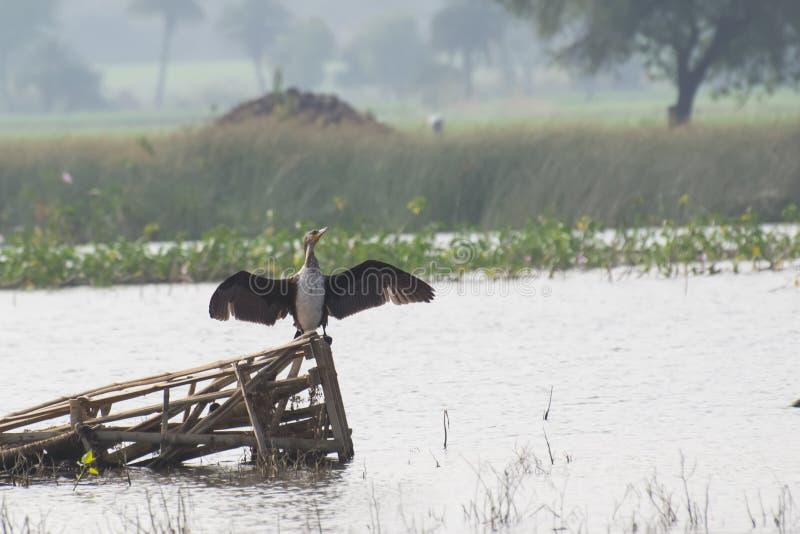 Grande cormorano con le ali aperte immagine stock