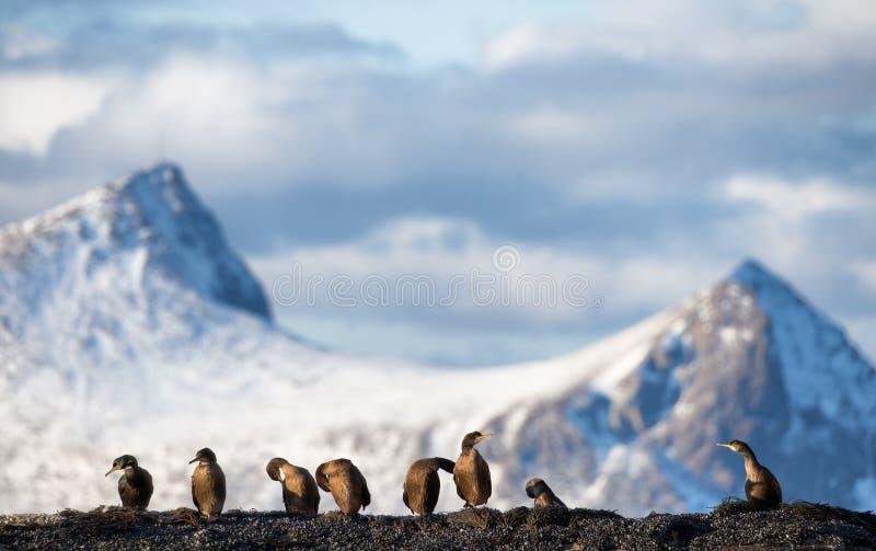 Grande Cormorant immagini stock libere da diritti