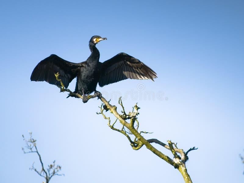 Grande cormorant fotografia stock libera da diritti