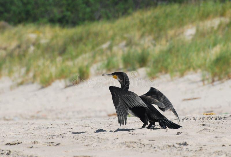 Grande Cormorant fotografia stock