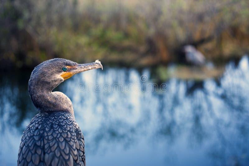 Grande Cormorant (carbo del Phalacrocorax) fotografia stock