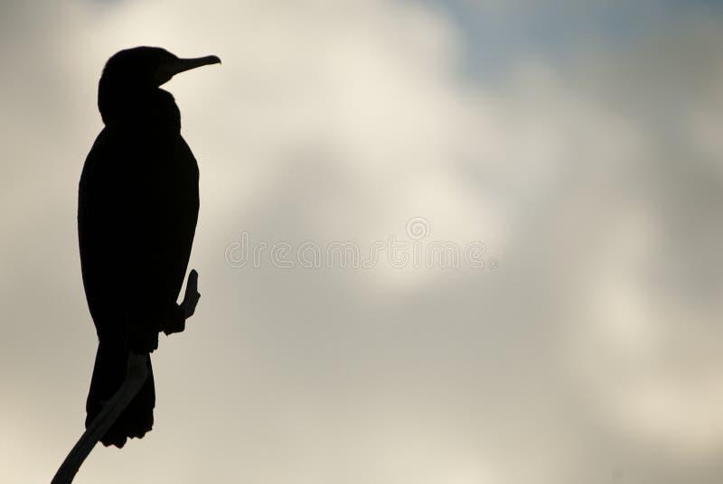 Grande Cormorant - carbo del Phalacrocorax contro la luce contro il cielo di tramonto, uccello immagine stock