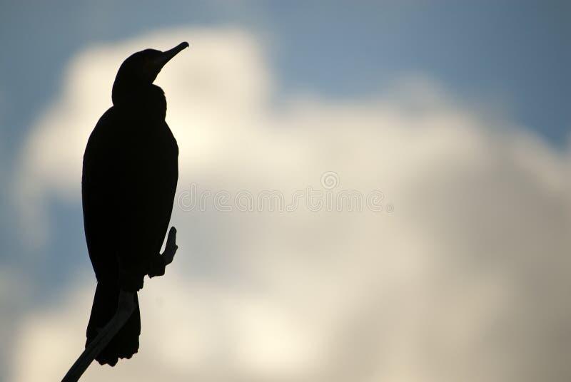 Grande Cormorant - carbo del Phalacrocorax su un ramo contro la luce contro il cielo di tramonto, immagini stock
