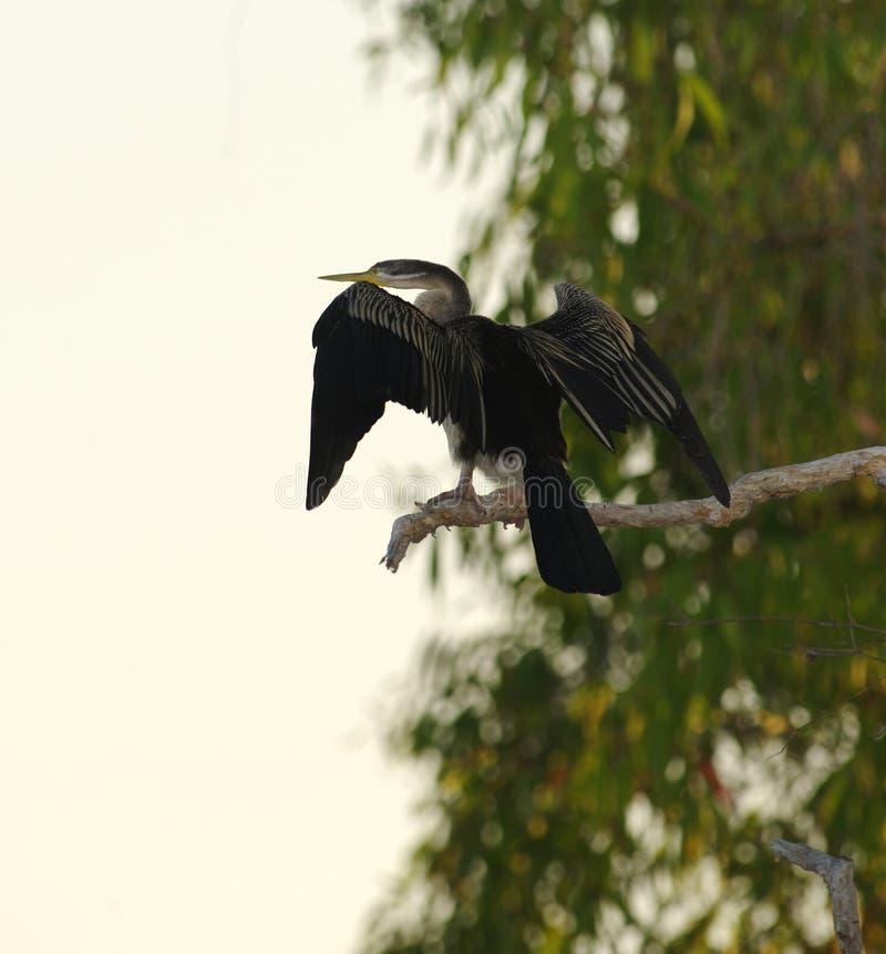 Grande Cormorant che asciuga le sue ali, parco nazionale di Kakadu, Australi immagine stock libera da diritti