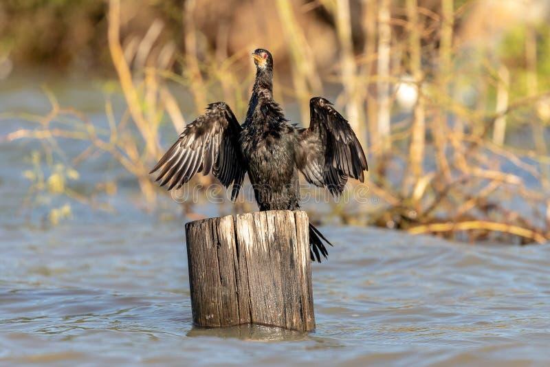 Grande Cormorant a coda lunga, Kenya, Africa fotografie stock libere da diritti