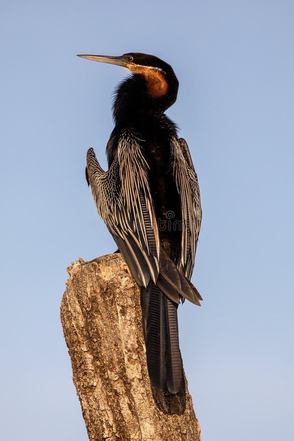 Grande Cormorant a coda lunga, Kenya, Africa immagini stock