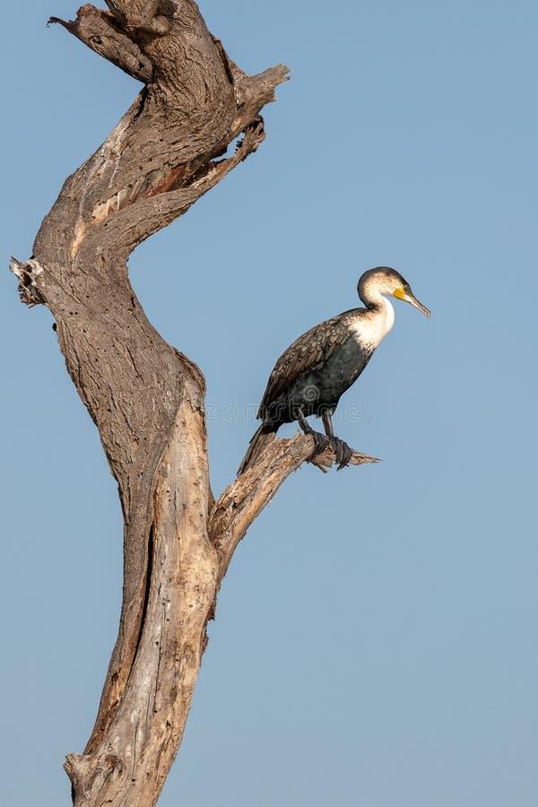 Grande Cormorant a coda lunga, Kenya, Africa immagini stock libere da diritti