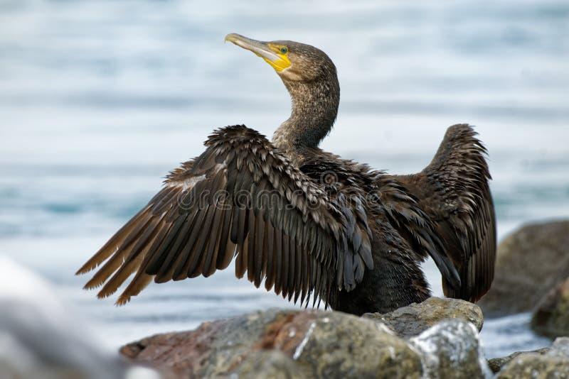 Grande Cormorant - cormorano del carbo del Phalacrocorax grande che asciuga le sue piume sul sole dopo l'immersione per il pesce  fotografia stock