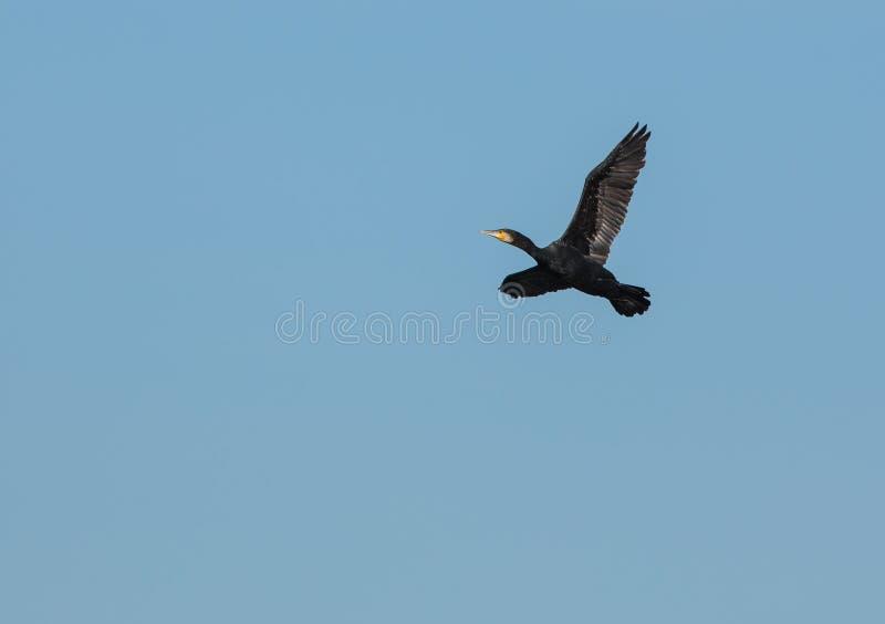 Grande Cormorant em vôo fotografia de stock royalty free
