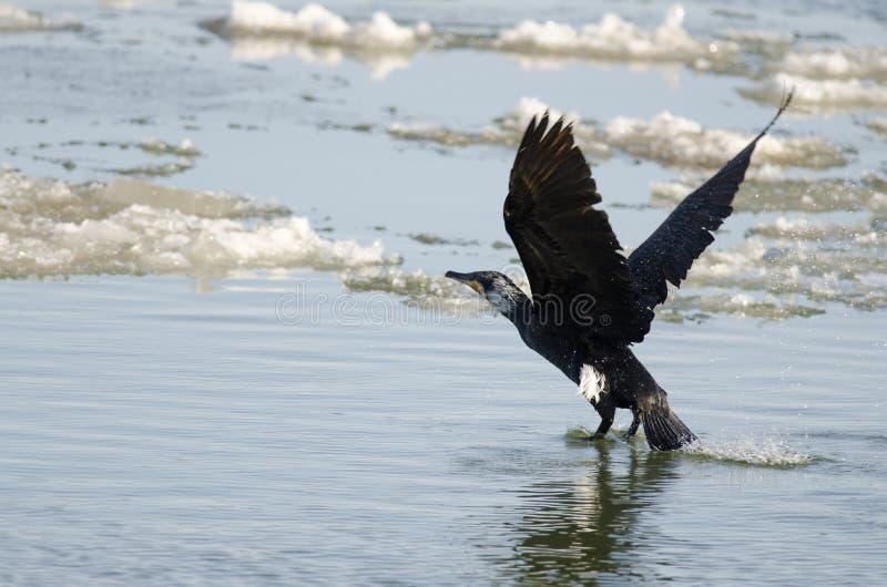 Download Grande Cormorant/Shag Preto Foto de Stock - Imagem de curva, peixes: 26520098