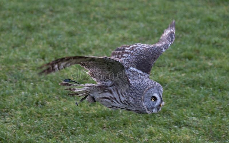 Grande coruja cinzenta em voo com campo de grama no fundo imagens de stock