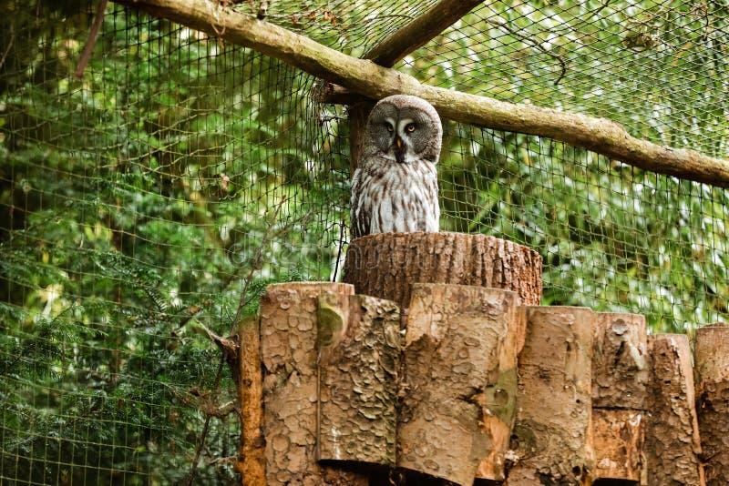 A grande coruja cinzenta ou grande coruja cinzenta, nebulosa do Strix, documentado como a espécie a maior do mundo de coruja pelo imagem de stock
