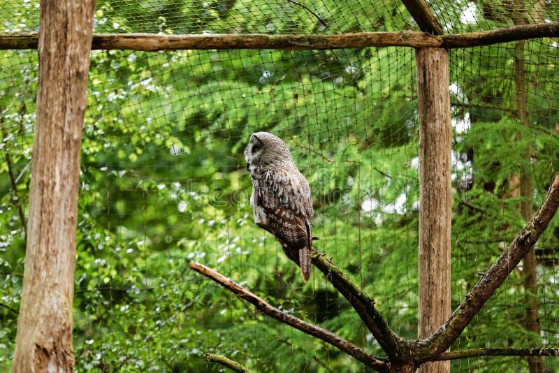 A grande coruja cinzenta ou grande coruja cinzenta, nebulosa do Strix, documentado como a espécie a maior do mundo de coruja pelo fotografia de stock royalty free