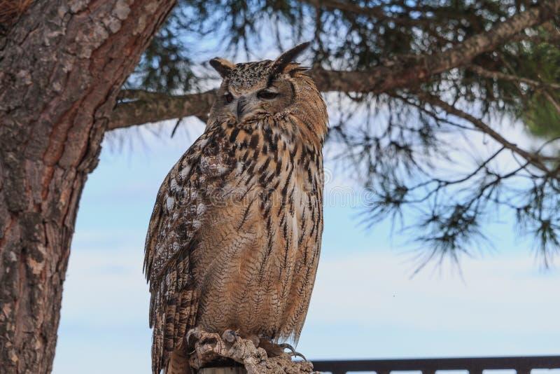 Grande coruja horned que senta-se no pinheiro foto de stock royalty free