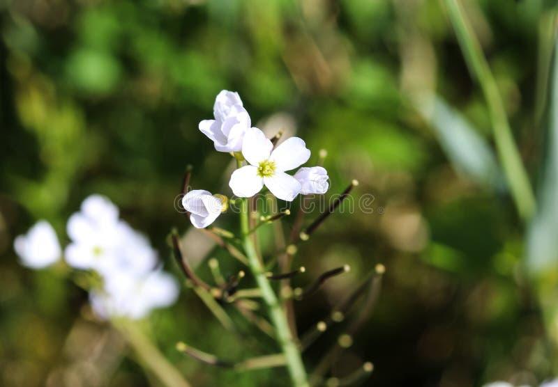 grande crescione amaro (Cardamine amara) che fiorisce in primavera immagine stock