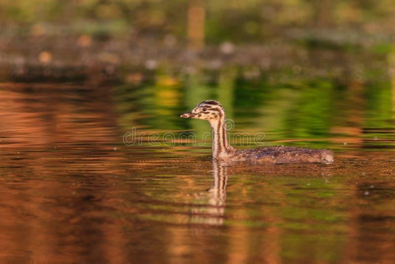 Grande cristatus juvenil do podiceps do mergulhão com crista fotos de stock