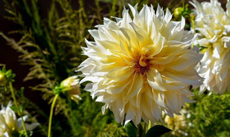 Grande dália amarela no jardim fotos de stock royalty free