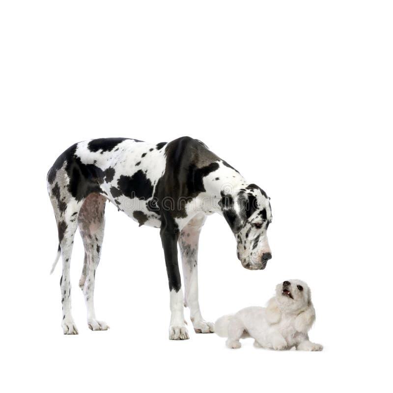 Grande danese e cane maltese fotografie stock