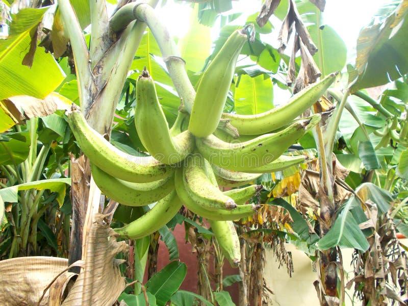 Grande, de largo y fruta verde del plátano en el árbol fotos de archivo libres de regalías