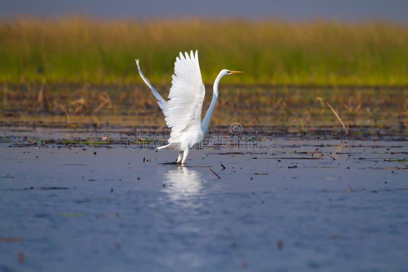 Grande decollo del Egret fotografie stock
