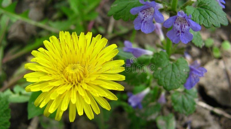 Grande dente-de-leão amarelo macio fotos de stock