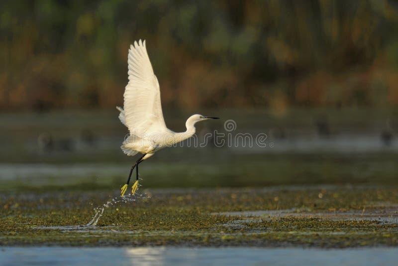 Grande descolagem branca do Egret fotografia de stock royalty free