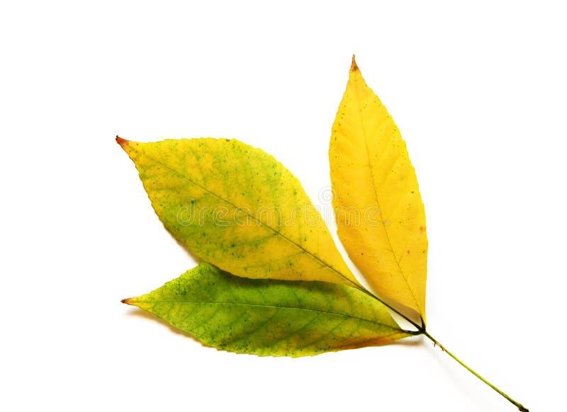 Grande e folha verde-amarela bonita isolada no fundo branco foto de stock royalty free