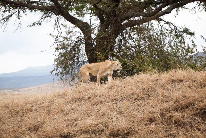 Grande e panthera gentile Leo della leonessa fotografia stock