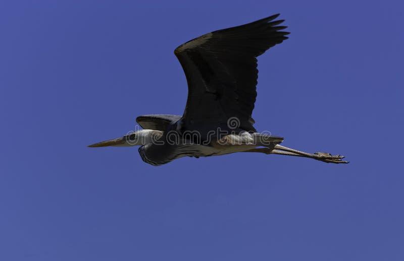 Grande Egret fotografia stock
