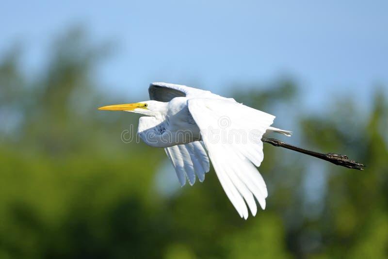 Grande Egret foto de stock royalty free