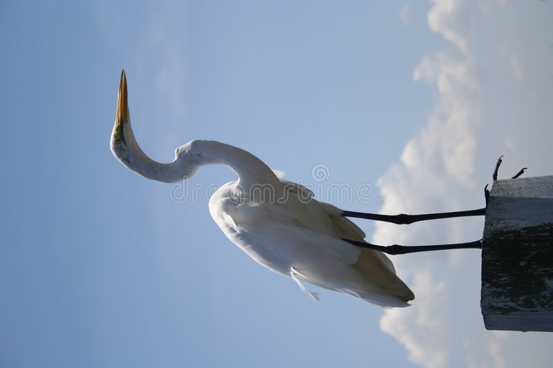 Download Grande egret fotografia stock. Immagine di bianco, pazienza - 211552