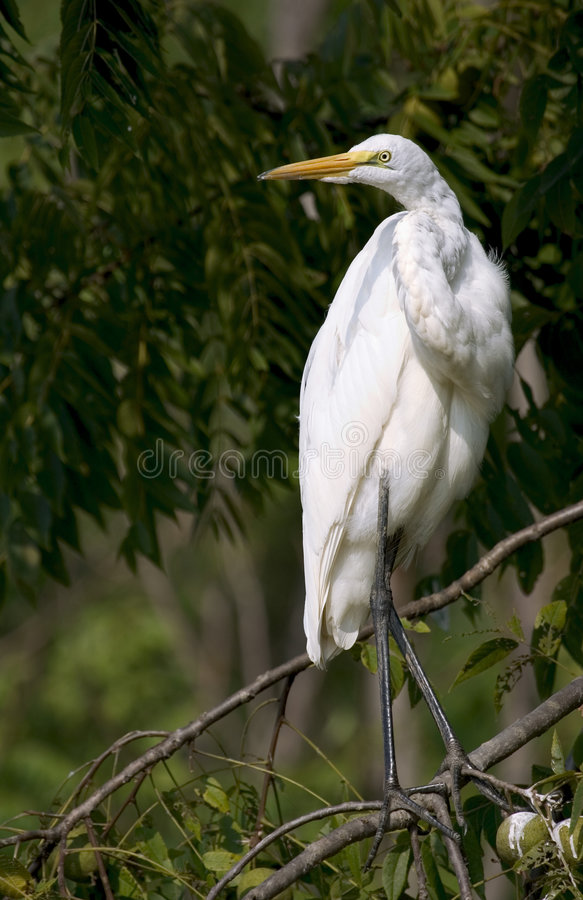 Download Grande egret fotografia stock. Immagine di volo, aspetti - 218938