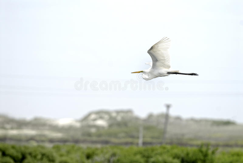 Grande Egret fotografia de stock royalty free