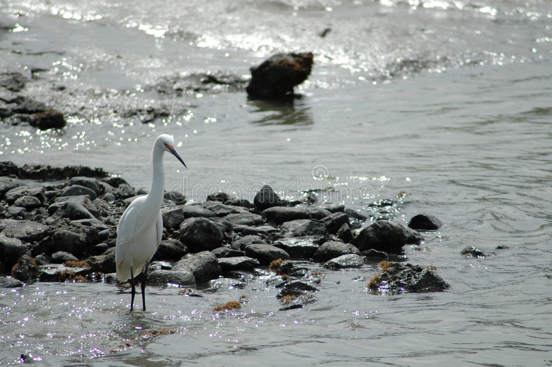 Grande egret foto de stock