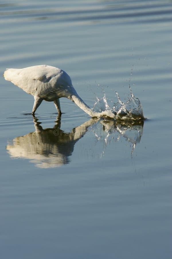Download Grande Egret immagine stock. Immagine di grande, uccelli - 7321827