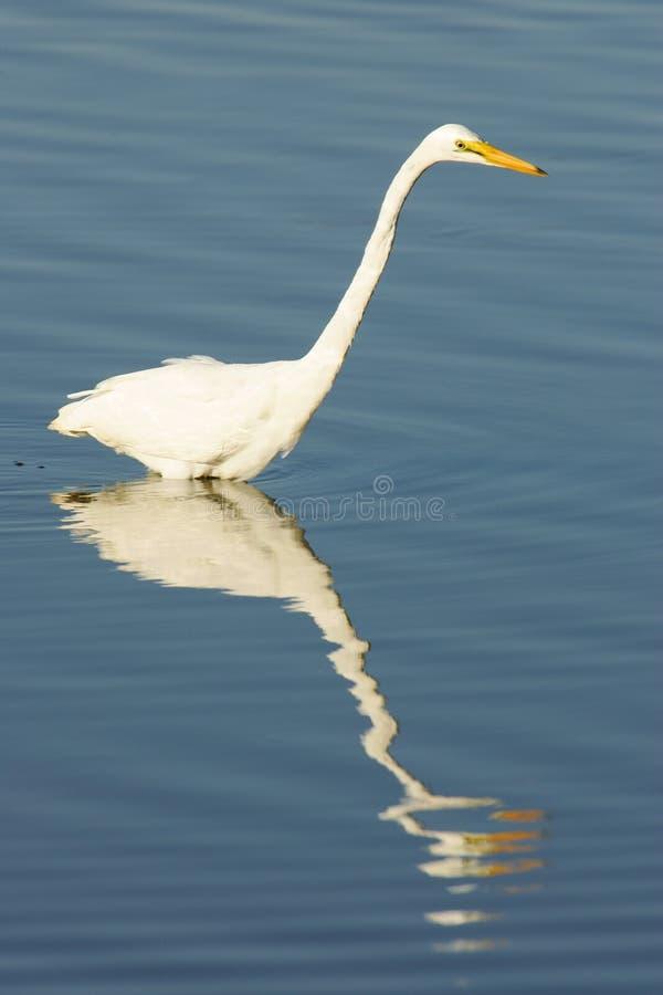 Download Grande Egret fotografia stock. Immagine di uccello, pesca - 7321852