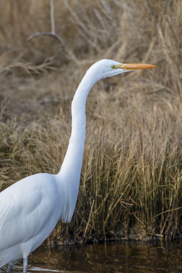 Grande egret, Ardea alba, caçando para peixes pequenos fotos de stock royalty free