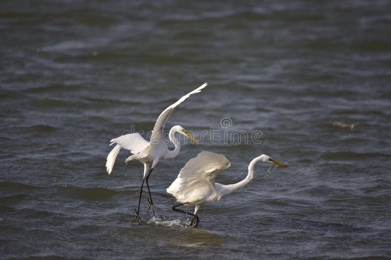 Grande Egret (aves migratórias de Taiwan) imagem de stock royalty free