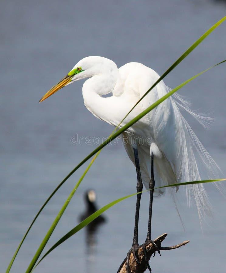 Grande egret bianco in Florida fotografia stock