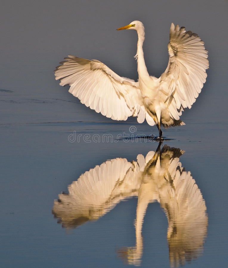 Grande Egret branco fotos de stock royalty free