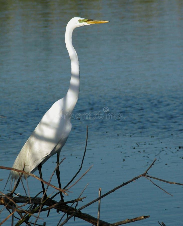 Download Grande Egret branco foto de stock. Imagem de egret, wetlands - 529410
