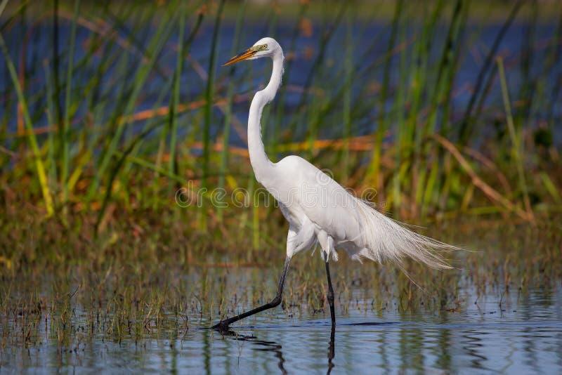 Grande egret branco ( Ardea alba) , Marismas parque nacional, Florida fotos de stock