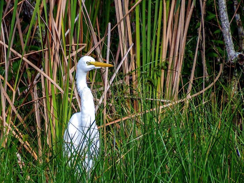 Grande Egret, caçando pelo banco de uma lagoa do pântano fotos de stock royalty free