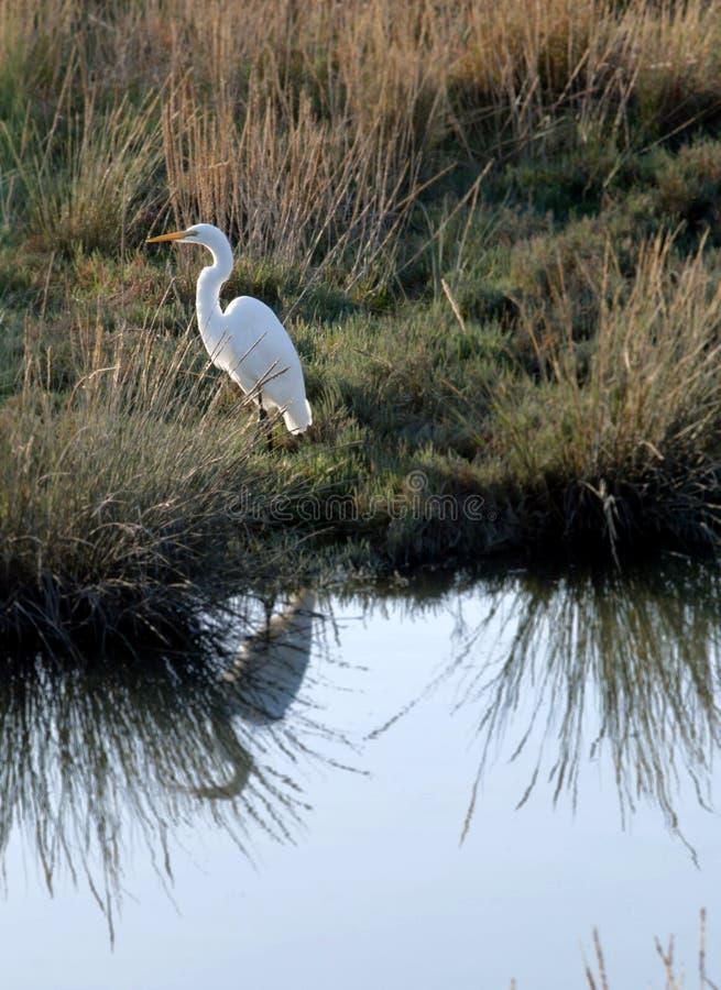 Grande Egret com reflexão imagem de stock