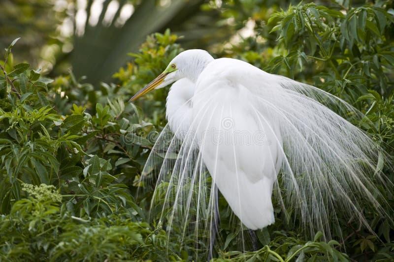 Grande Egret de gado fotografia de stock royalty free
